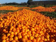 Record Citrus Production in Morocco Led to Dumping of Surplus