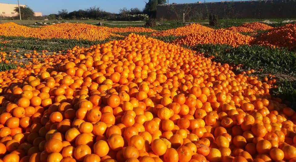 Morocco to Produce Surplus of Citrus, Dairy, Eggs in Next 5 Years