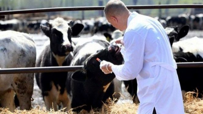 ONSSA Vaccinates Millions of Livestock in Fight Against Foot-and-mouth Ahead of Eid
