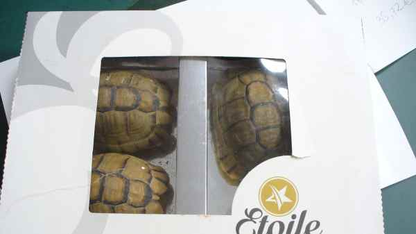 Airport Catches German Man Smuggling 3 Moroccan Tortoises in Pastry Box