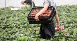 Moroccan Farmworkers Denounce 'Slavery' in France