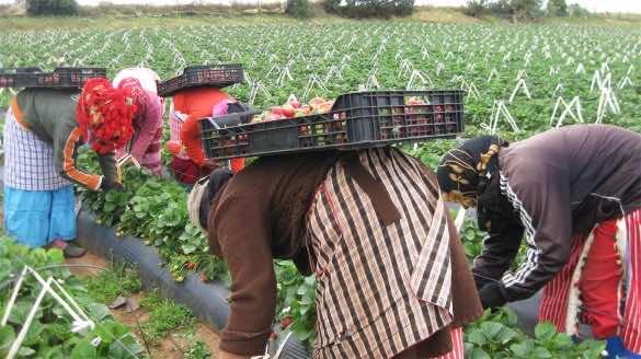 Moroccan seasonal workers in spain