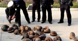A horde of pangolins