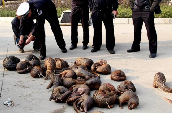 A horde of pangolins