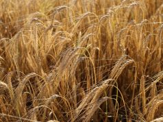 Agriculture Ministry Announces 19% Decrease in Cereal Production