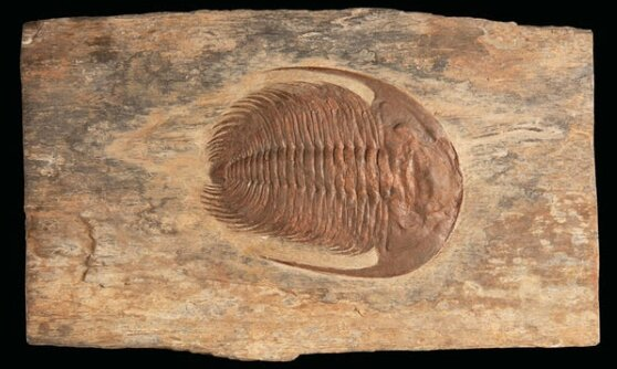 Auction Sells Moroccan Fossil for Over $3000 Auction