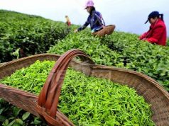 China's First Tea Company in Africa Finds a Home in Morocco