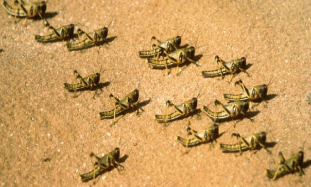 Marrakesh Region Facing Locust Outbreak