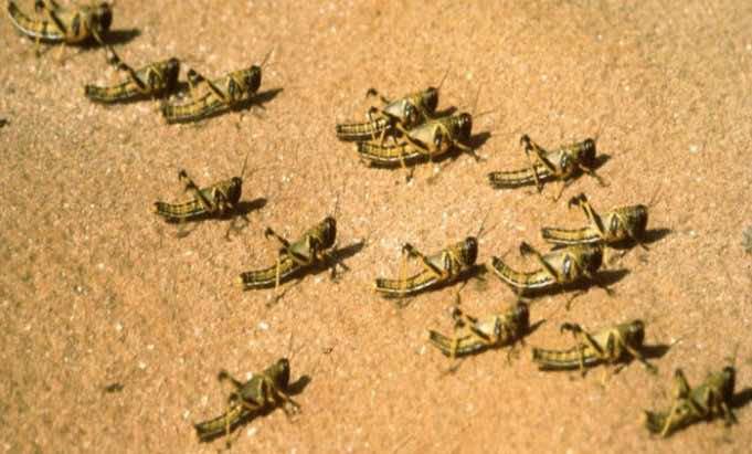 Marrakesh Region Facing Locust Outbreak