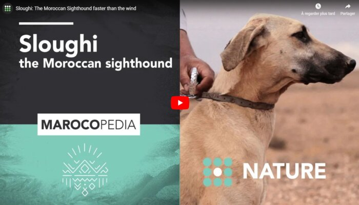 "Marocopedia's documentary on the rare ""sloughi"" sighthound has helped promote the rare breed."