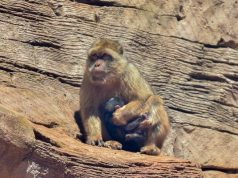 The Barbary Macaque was born on May 28 in Rabat.