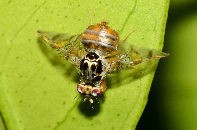 Morocco Sterilizes the Mediterranean Fruit Fly