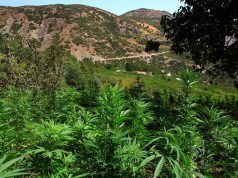 Morocco Remains Top Producer of Cannabis, Report Confirms