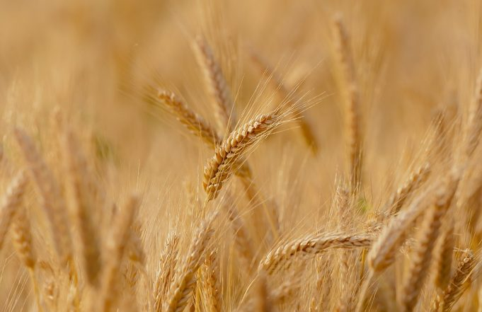 Morocco's Cereal Production Down 40.5% in 2018-2019 Crop Year