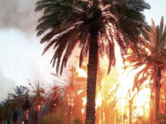 Oasis Fire Destroys Thousands of Palm Trees in Errachidia Province