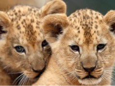 Public Catches First Glimpse of Rare Barbary Lion Cubs in Czech Zoo