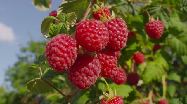 US Authorizes Import of Fresh Raspberries From Morocco