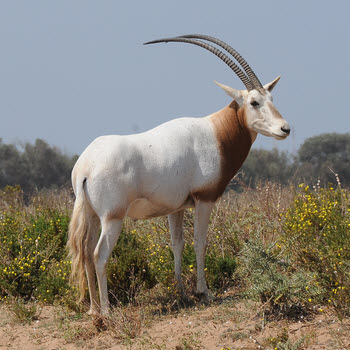 Five Scimitar oryx were born at the Rabat zoo this year. The species was once widespread across North Africa but became extinct in the wild in 2000.