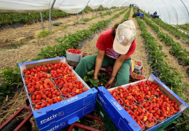 Spain to Hire 19,000 Moroccan Workers for Strawberry Season