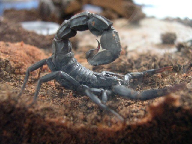 Family in Canary Islands Finds Moroccan Scorpion in Backpack