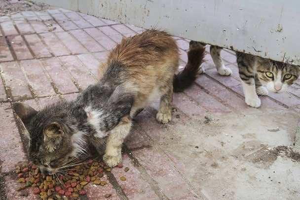 Azzemour Kittens