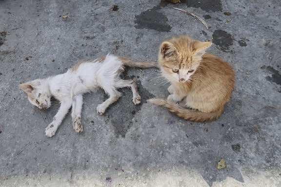 Azzemour cats - ERHAM