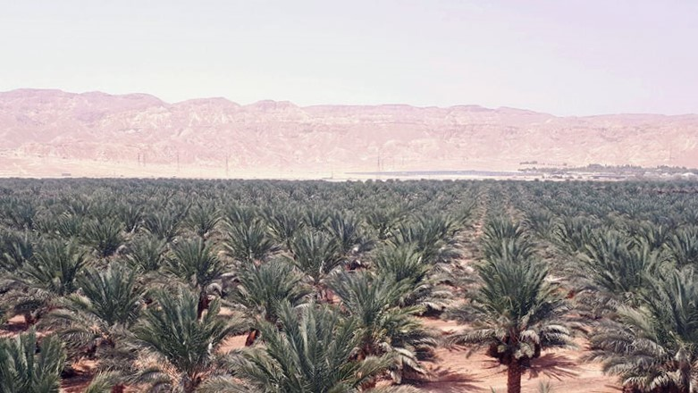 Morocco's Date Palms Bring in MAD 2 Million Per Year