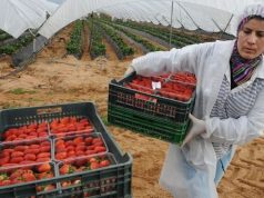 Spain to Hire 16,500 Moroccan Workers for 2020 Strawberry Season
