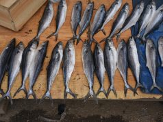 Spanish Civil Guard Seizes 5,000 Kgs of Unauthorized Moroccan Fish