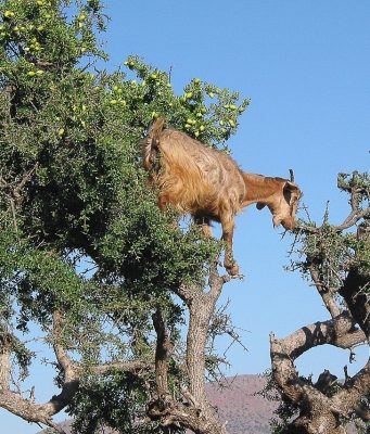 GDP of Moroccan Oases and Argan Trees Increases Over Last Decade