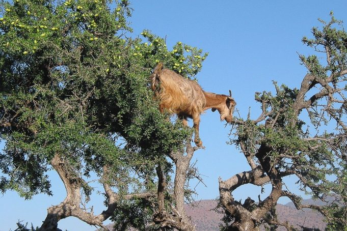 Morocco to Launch an International Argan Day