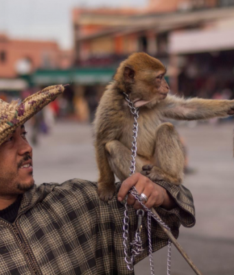 monkeys in marrakech
