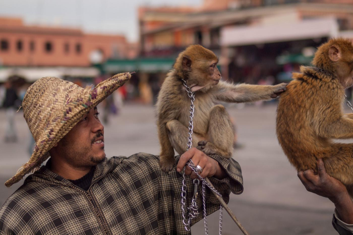 Marrakech: Monkeys See, Monkeys Do When They're Forced To