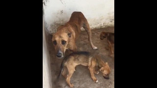 Starving Stray Dogs Resort to Eating Each Other at Agadir Dog Pound