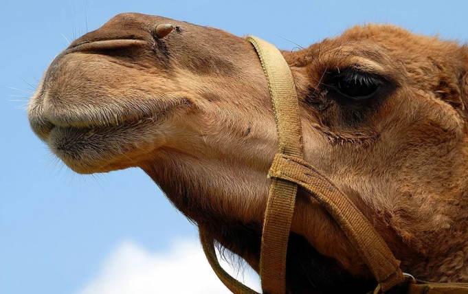Australia Plans to Kill 10,000 Camels Due to Drought