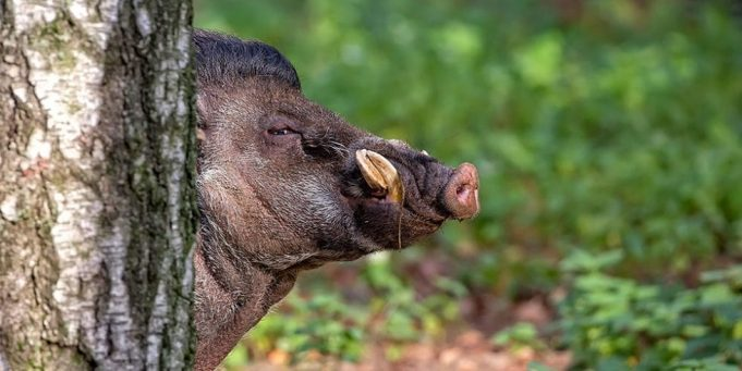 Rabat: Wild Boar Hunting Program Aims to Protect Hay Riad Residents