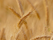 Morocco to Import 354,000 Tons of US Durum Wheat from US