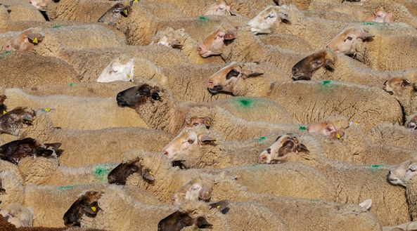 Morocco to Invest MAD 55 Million to Protect Livestock Amid Low Rainfall