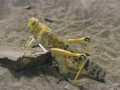 Desert Locusts to Likely Sweep North Africa in October, Expert Warns