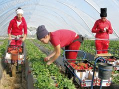 French and Spanish Crops in Trouble Over Shortage of Moroccan Workers