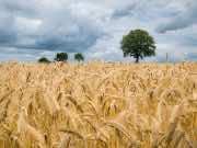 Morocco Distributes Subsidized Barley in Marrakech-Safi Region