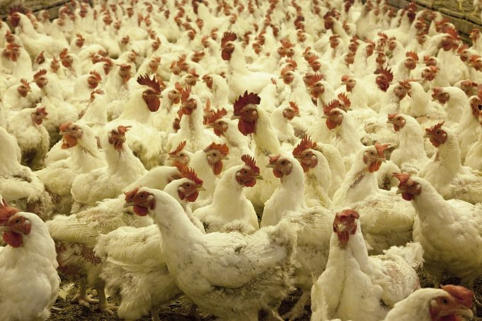 Morocco's Poultry Sector Assures Sufficient Supply of Meat, Eggs