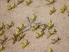 Second Wave of Ravaging Locusts Hits East Africa