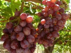 International Growers Step Up Sweet Grape Production in Morocco