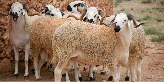 Casablanca Prepares Slaughterhouses for Eid Al Adha