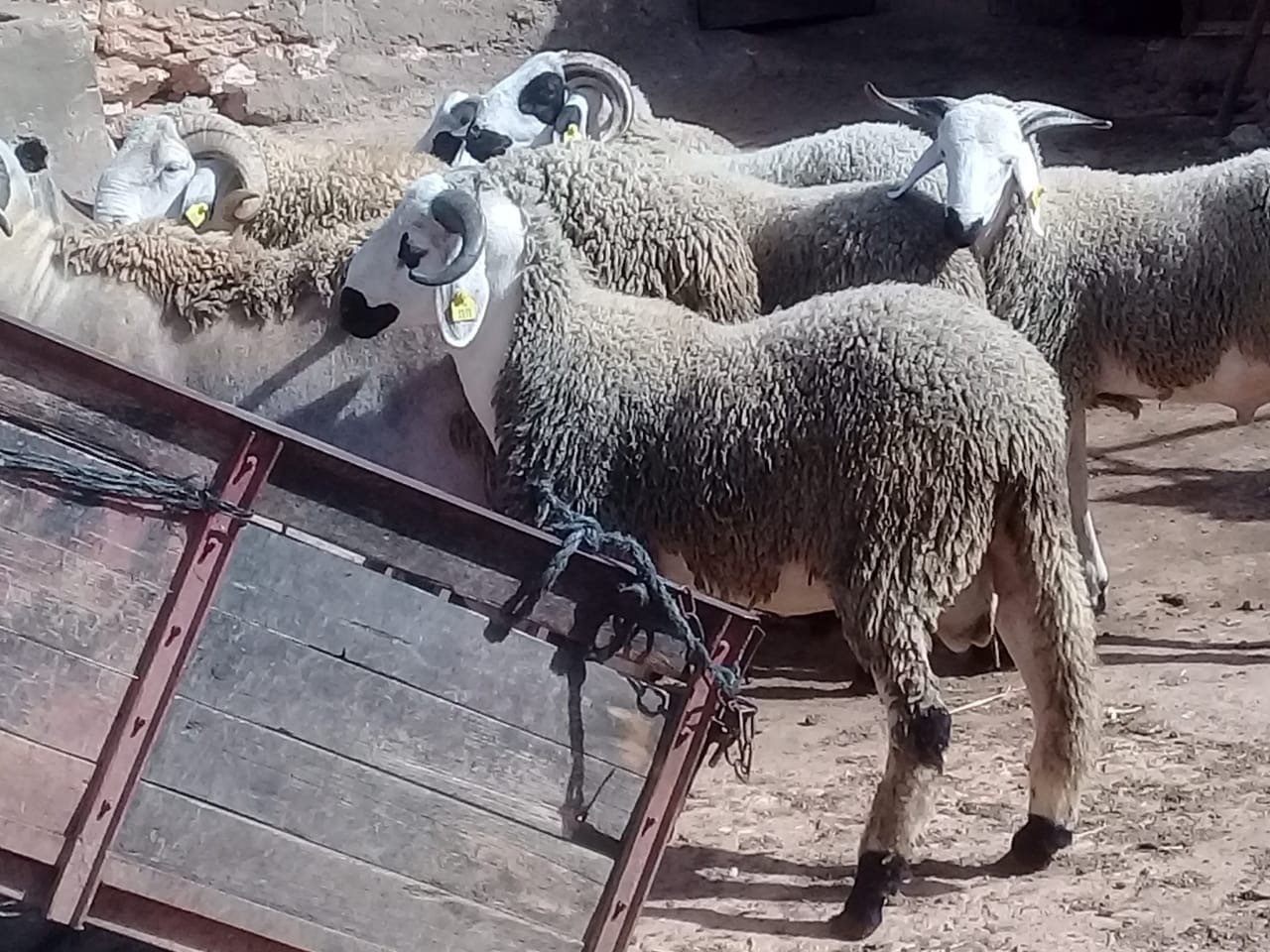 Eid Al Adha in Morocco: How Many Sheep Can You Fit in a Jeep?