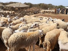 Minister: 8 Million Sheep, Goats Earmarked in Preparation for Eid al-Adha