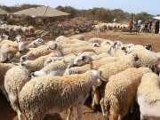 Morocco Tags 7.2 Million Livestock for Eid Al Adha
