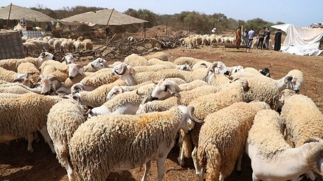 Morocco Tags 7.2 Million Livestock for Eid Al Adha