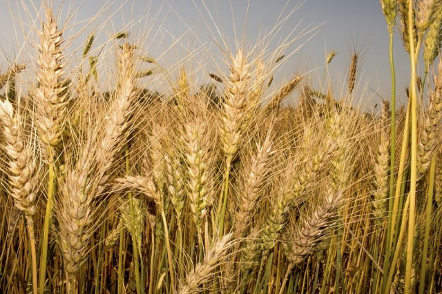 North African Wheat Production Drops By 60%